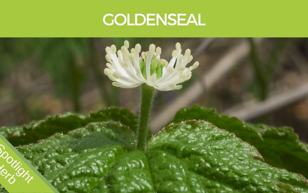 Goldenseal Flower