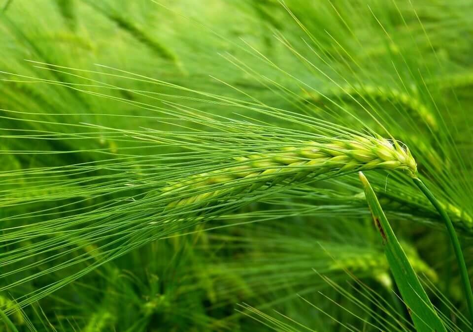 Barley Grass (Hordeum vulgare) Herbal Monograph