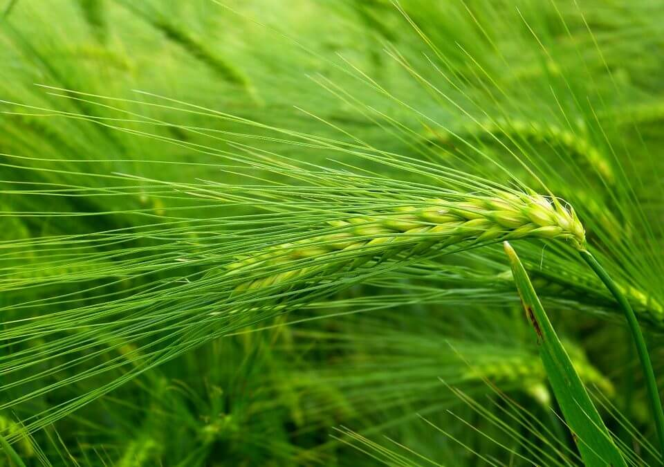 barley-grass.jpg