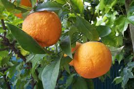 bitter_orange.jpeg
