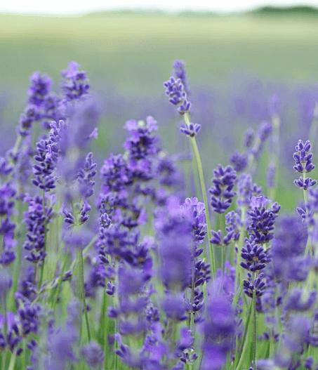 Making Lavender Oil at Home