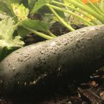 zucchini.png