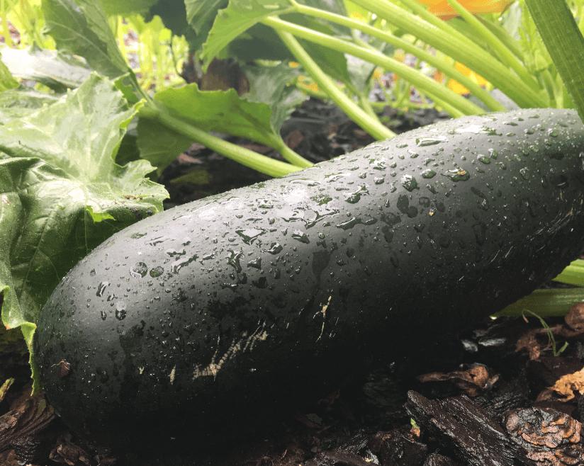 Zucchini  (Cucurbita pepo) Health Benefits