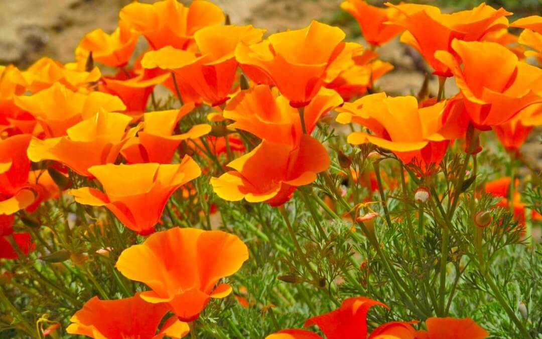 California poppy (Eschscholzia californica) Herbal Monograph