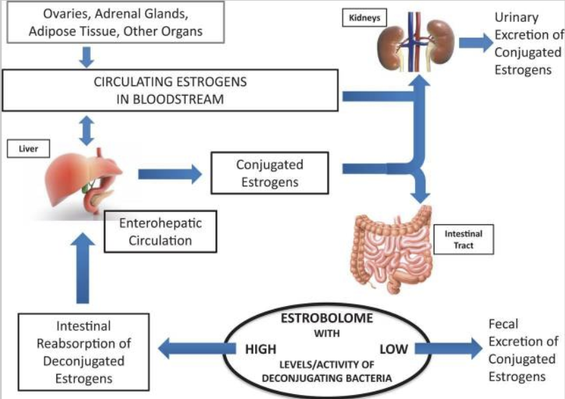 estrogen conjugation